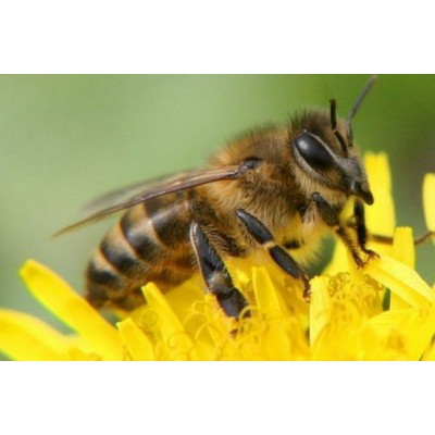 З березня 2019 року можна буде укладати договори страхування бджіл.
