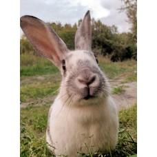 УВАГА! Геморагічна хвороба кролів