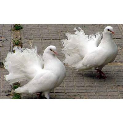 Пташиний рай - 2 березня в Умань завітають породисті пернаті